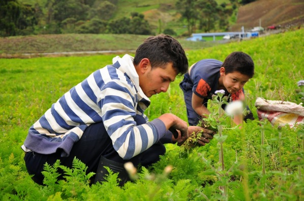 Limpiando siembra de Zanahoria