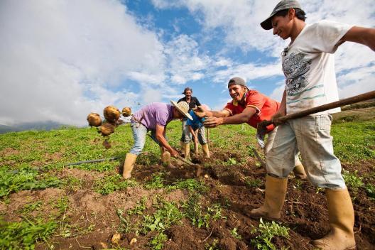 Récolte de pommes de terre, Commune Macho Capaz.