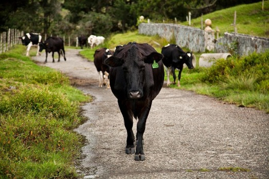 Vacas lecheras llegando al segundo ordeño