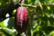 Production de Cacao dans la Commune agricole Cajigal.