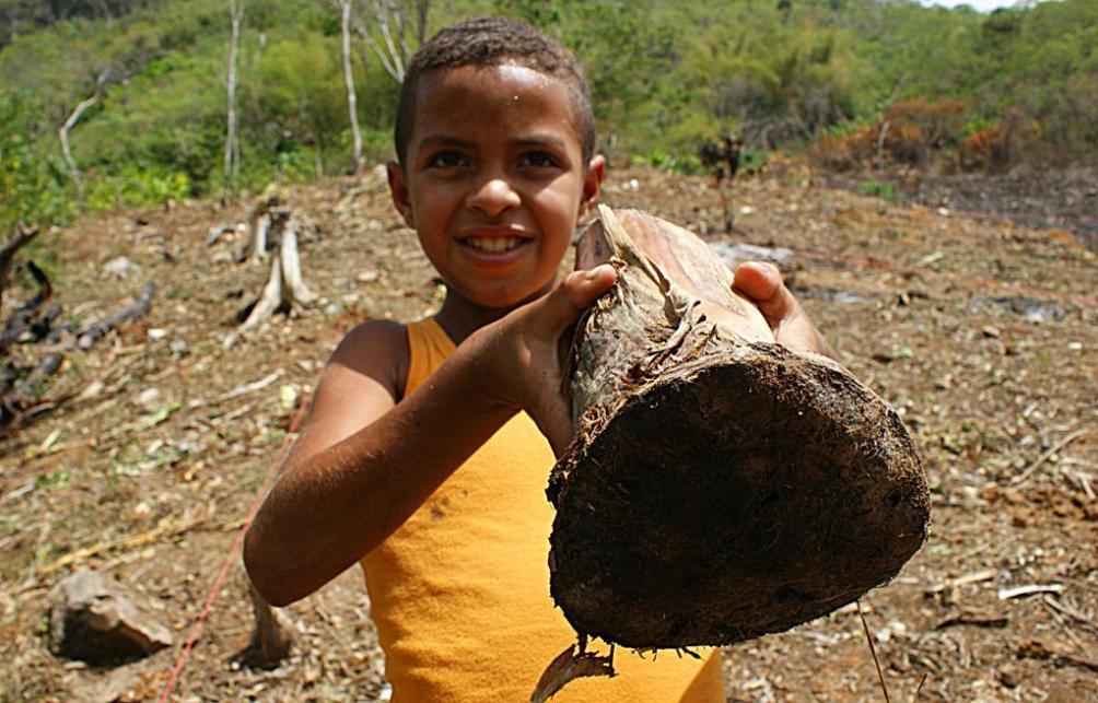 Plant de banane à cuire