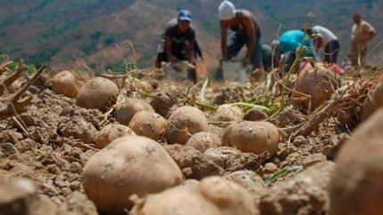 cultivo-de-papa-en-venezuela-04f08