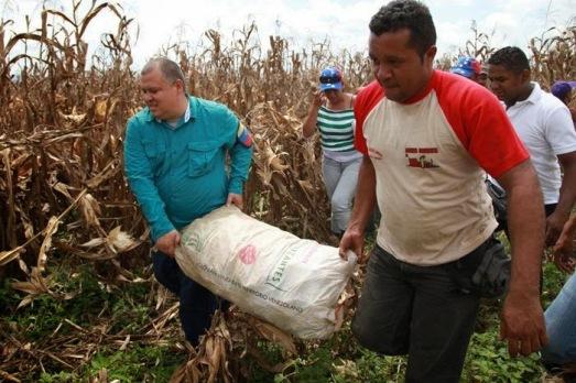 6-recoleccion-de-maiz.-trabajo-voluntario.-comuna-el-maizal.-mun.-iribarren-lara-16-10-13.jpg
